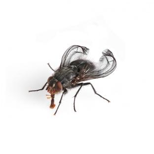 Terflys