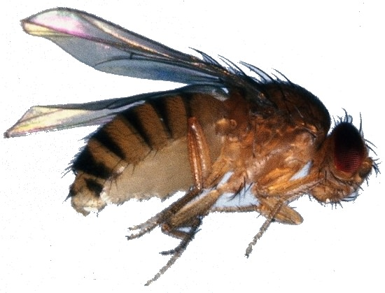 Drosophila gross (flugunfähig)
