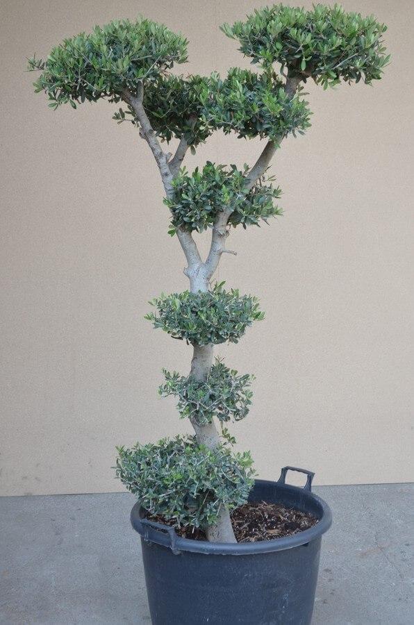 Citrusbäume und Olivenbäume