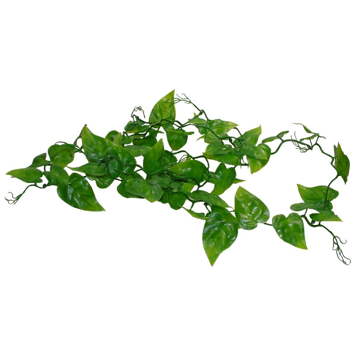 Philodendron Ranke