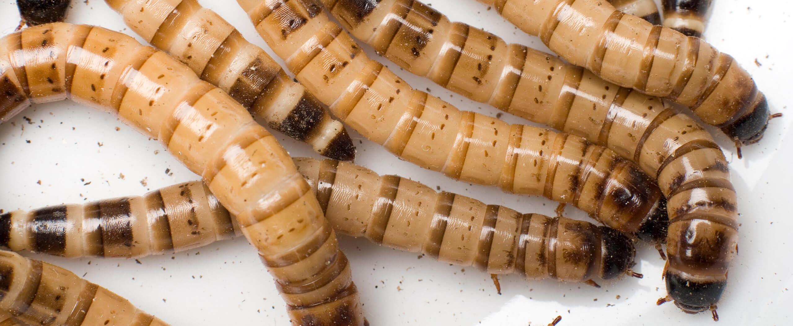 Würmer / Maden