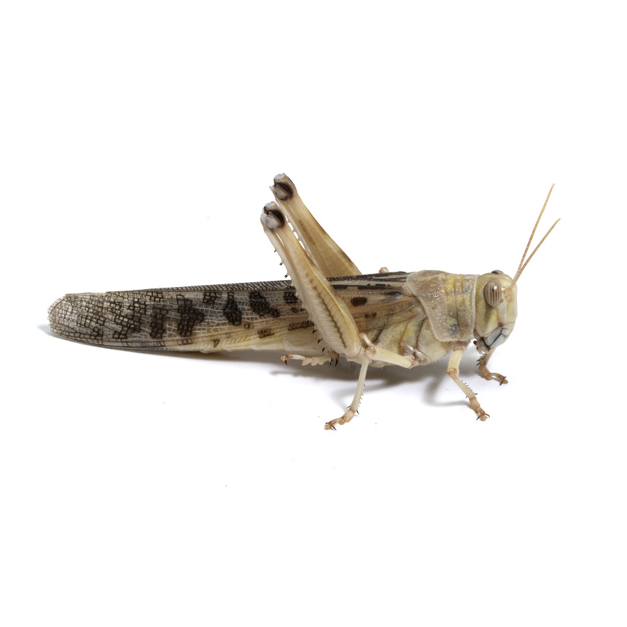 Wüstenheuschrecken adult