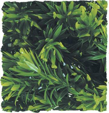 Plastikpflanzen Borneo Star