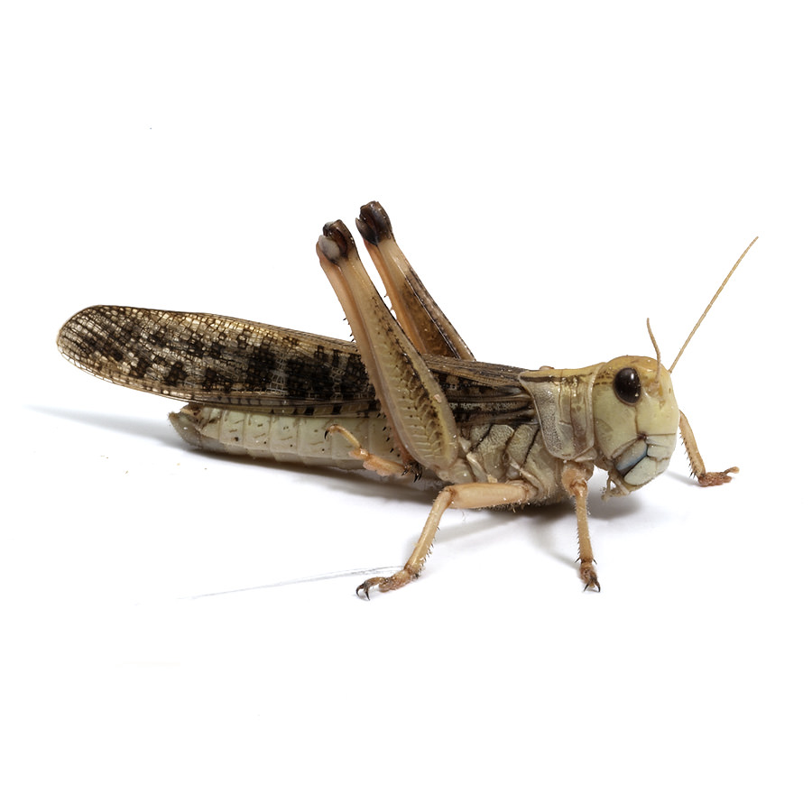 Wanderheuschrecken adult
