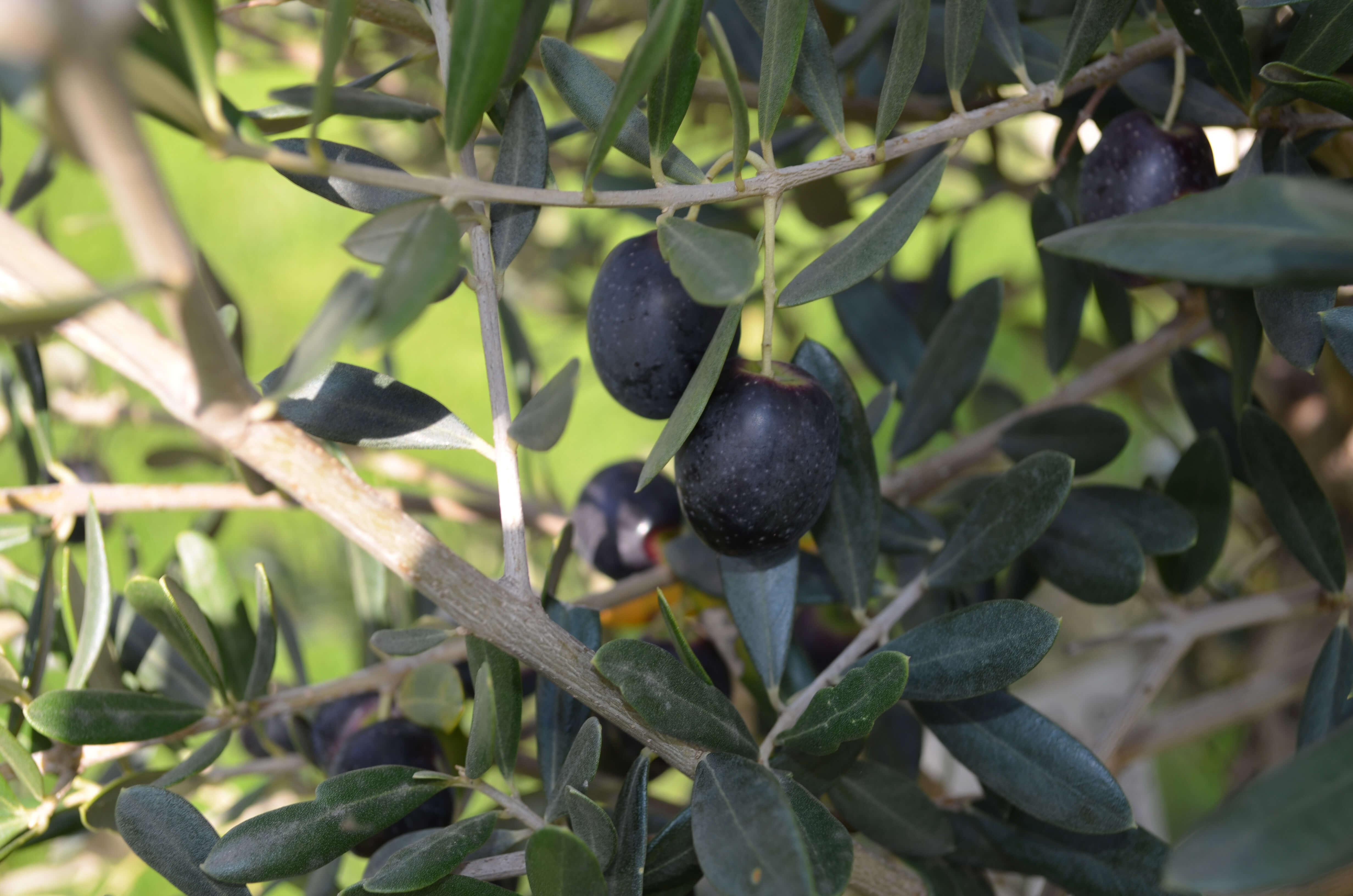 ReptiKing Lager Olivenbäume