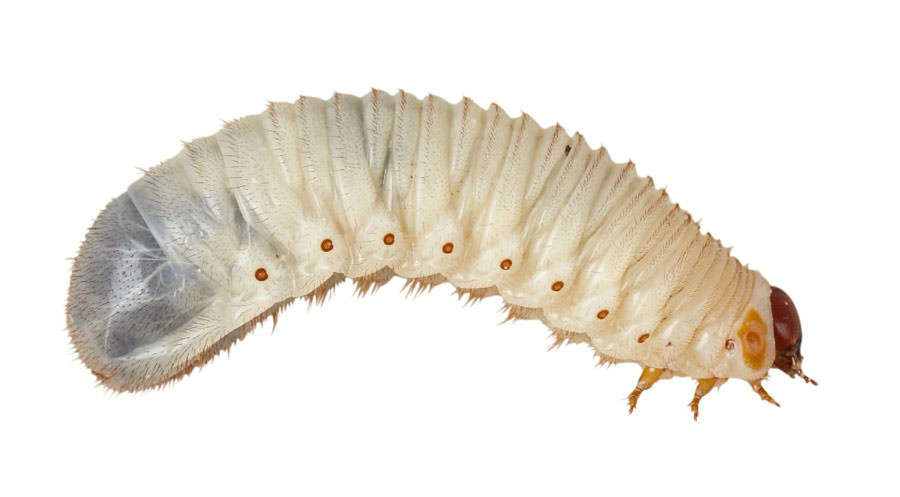Rosenkäferlarven