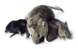 Ratte gross
