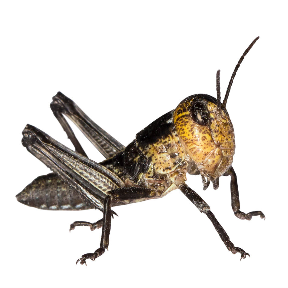 Wanderheuschrecken klein