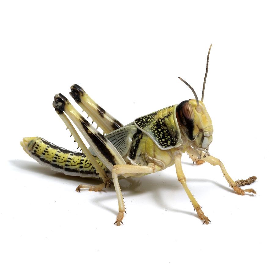 Wüstenheuschrecken subadult