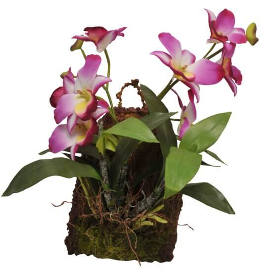 Hänge-Orchidee purpur