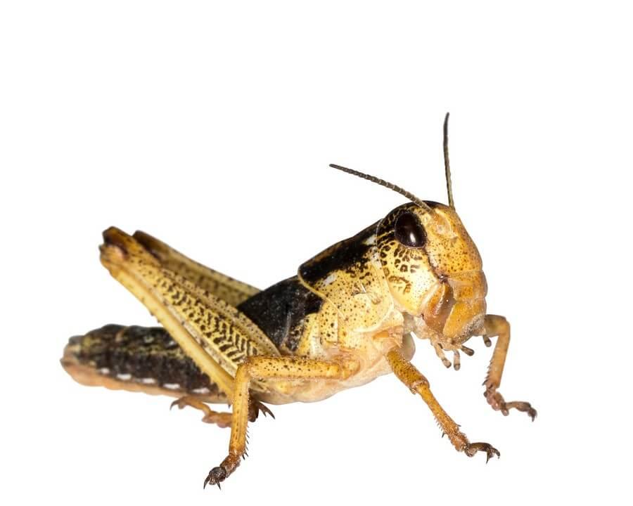 Wanderheuschrecken subadult